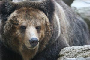 クマに襲われる